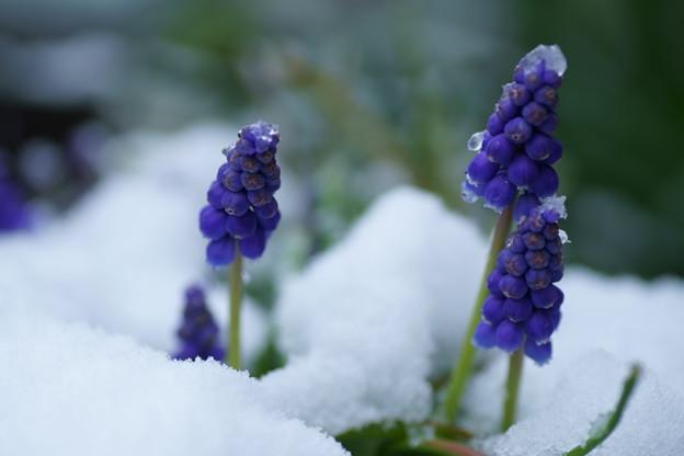 ムスカリ   平成最後の雪
