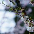 Photos: 兼六園 冬桜