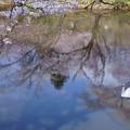 白鳥の湖  桜咲く