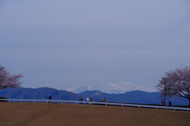 真っ白な白山と桜並木(2)