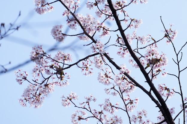 桜メジロ  かくれんぼ?