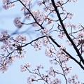 Photos: 桜メジロ  かくれんぼ?