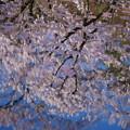 Photos: 桜池