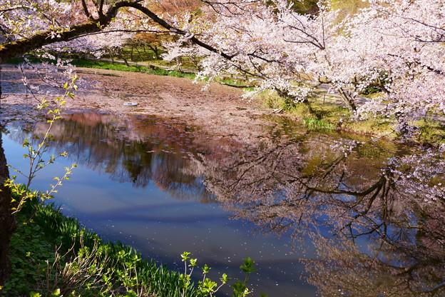奥卯辰山健民公園 満開の桜 池