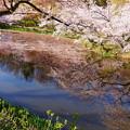 Photos: 奥卯辰山健民公園 満開の桜 池