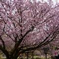 兼六園熊谷桜