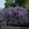 金沢城公園  八重紅枝垂桜