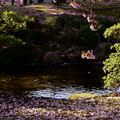 曲水と兼六園熊谷桜 散る桜と絨毯