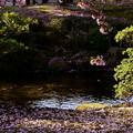 Photos: 曲水と兼六園熊谷桜 散る桜と絨毯