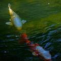 Photos: 霞が池の宝石? 錦鯉