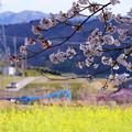 菜の花と桜 (2)
