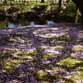 兼六園熊谷桜の絨毯