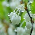 ドウダンツツジの花 ゜〇○〇゜○