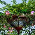 Photos: 野点傘と朝顔のアート