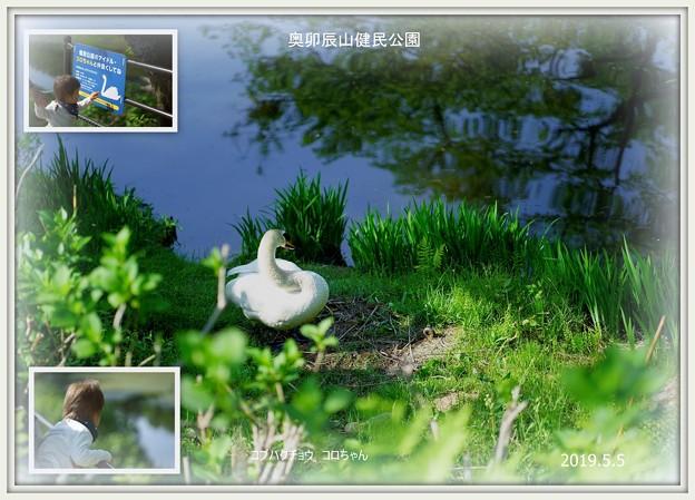 奥卯辰山健民公園  コブハクチョウ