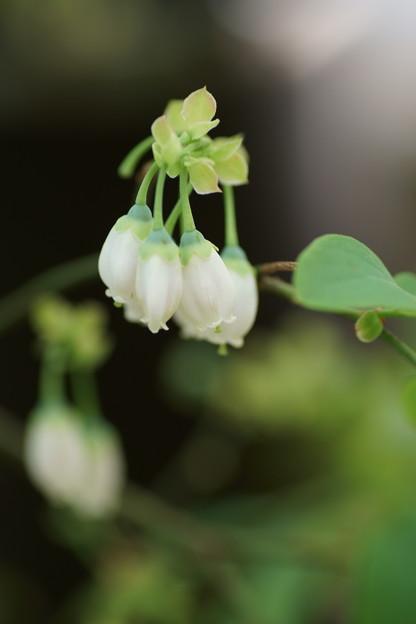 ブルベリーの花