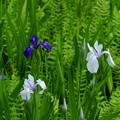 カキツバタ 青と白(1)