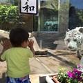 いしかわ動物園     ホワイトタイガー