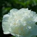 Photos: 白いシャクヤク