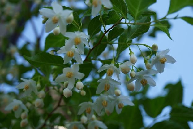 鳥さんからのプレゼント エゴノキの花