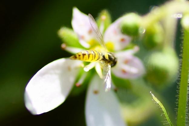 Photos: 小さなヒラタアブ  ユキノシタの花に