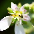 小さなヒラタアブ  ユキノシタの花に