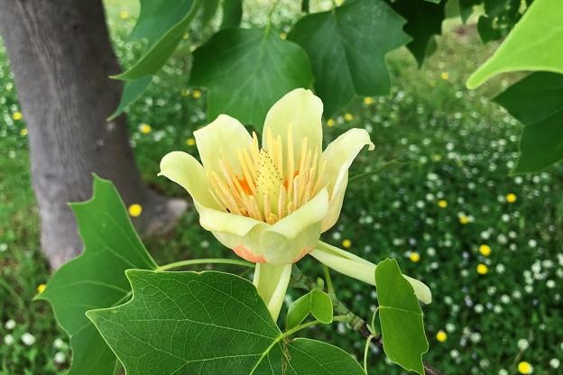 Photos: ユリノキの花(チューリップツリー)1