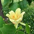 ユリノキの花(チューリップツリー)1