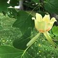 ユリノキの花 (チューリップツリー)2