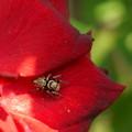 赤いバラが好き♪    … 可愛い?クモさん
