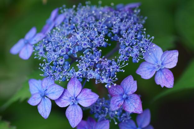 藍色に染まって  ヤマアジサイ 藍姫