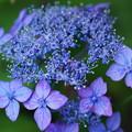 Photos: 藍色に染まって  ヤマアジサイ 藍姫