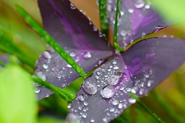 オキザリス 紫の舞