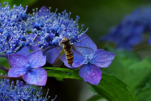 ヒラタアブ   紫陽花の両性花と装飾花