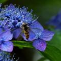 Photos: ヒラタアブ   紫陽花の両性花と装飾花