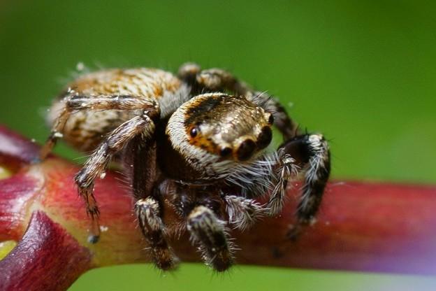 マミジロハエトリ蜘蛛 ♀