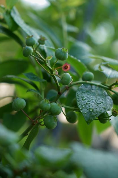 ブルーベリーの緑の実