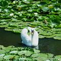 スイレン池の白鳥 コロちゃん