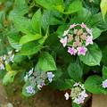 Photos: 紫陽花 コンペイトウ ブルーとピンクが同時に