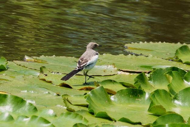 セグロセキレイの若鳥