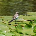 Photos: セグロセキレイの若鳥