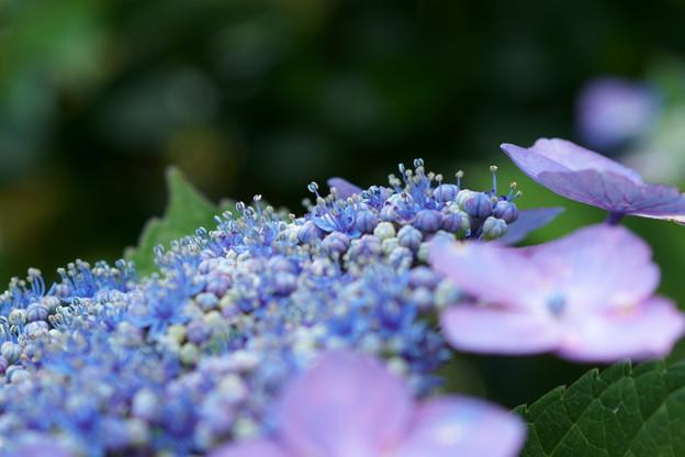 アジサイの両性花がポコポコ開花