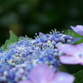 Photos: アジサイの両性花がポコポコ開花