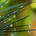 Photos: 雨のしずく
