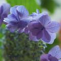 Photos: アジサイ・城ヶ崎を切り花に