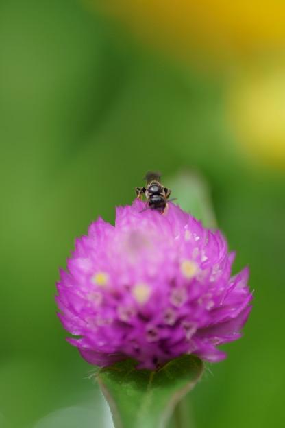 センニチコウ 蜂