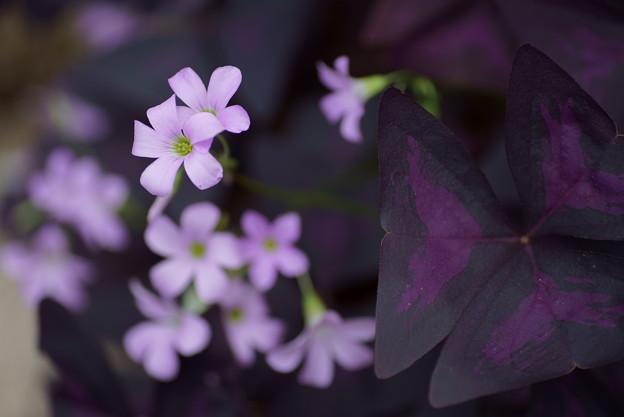 オキザリス・トリアングラリス  紫の舞