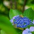 最後の紫陽花にミツバチ
