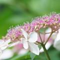 花菖蒲園のピンクのガクアジサイ
