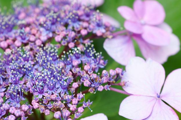 Photos: ガクアジサイ 両性花と装飾花